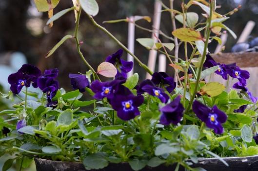 Viola Black Velvet