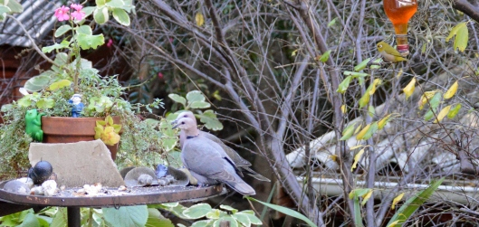 Cape Turtle Doves with White Eye in the background