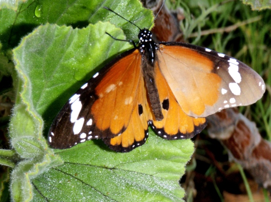 Many types of Butterfly have made the garden their home