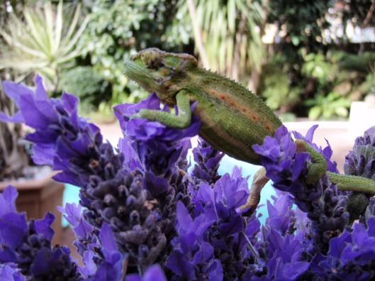 The Cape Dwarf Chameleon on the Lavender