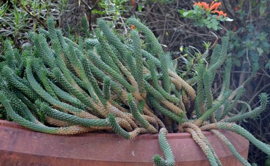 Euphorbia Medusa Caput