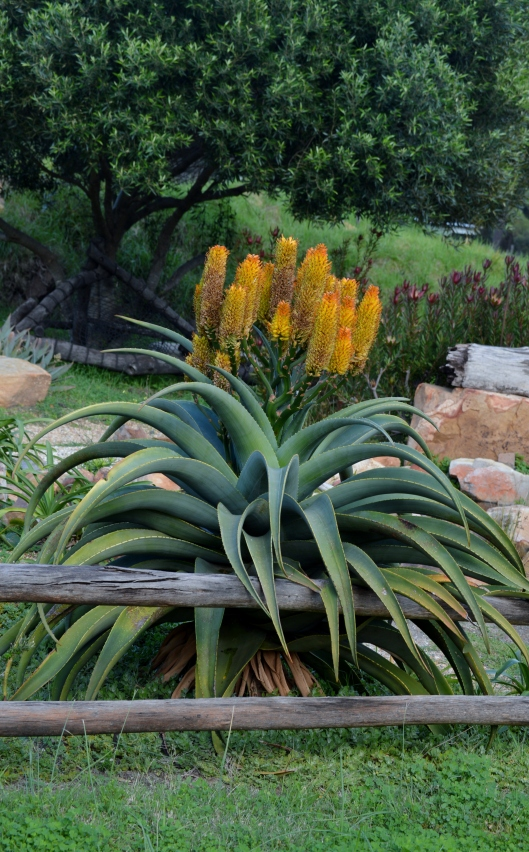 Stunning Aloe