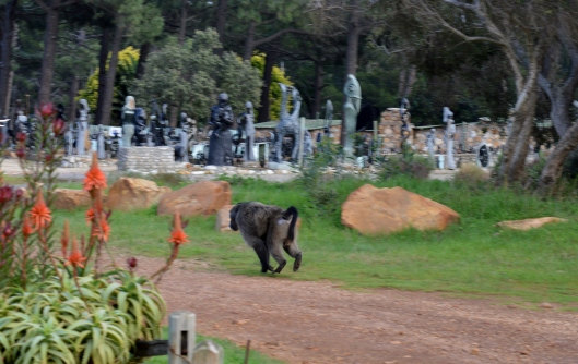 Chacma  Baboon running off after an altercation with a dog