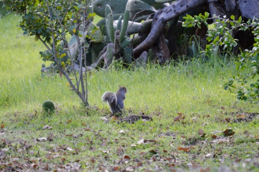 A squirrel foraging for acorns