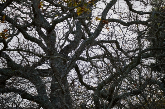 The ancient Oaks
