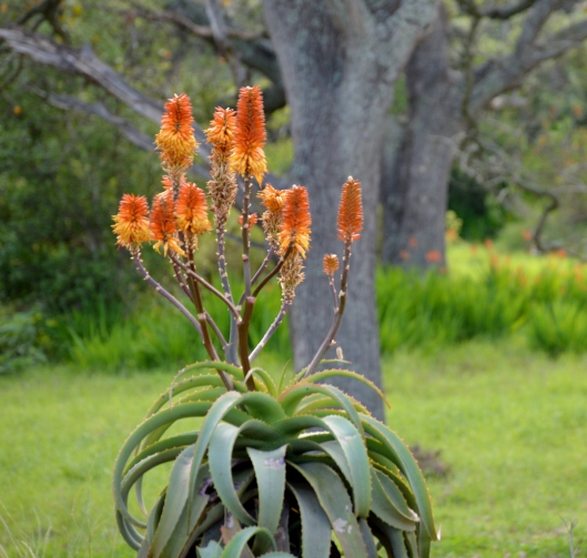 Aloe Africana with Chasmanthe in the background