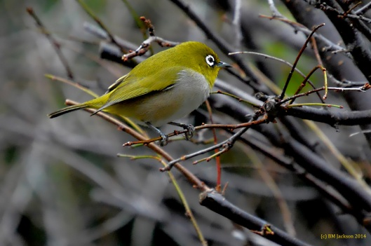 Cape white-eye (Zosterops pallidus)