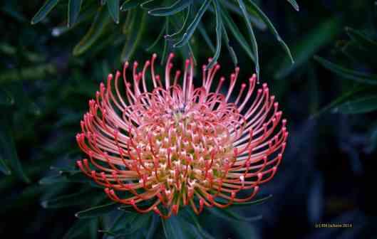 Pincushion - Leucospermum