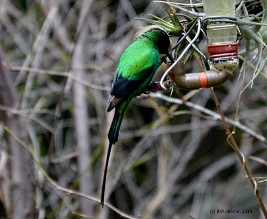 Breeding Malachite Sunbird