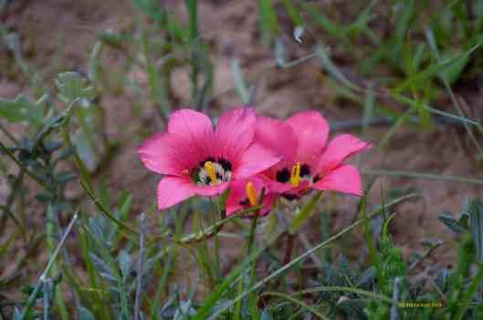 Satyn Flower Romulea monadelpha