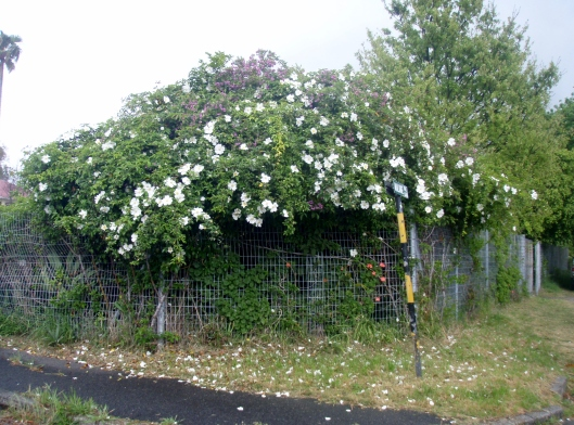 Dog Rose on the fence