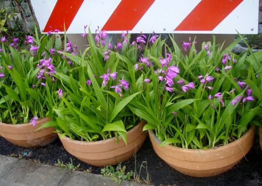 Bulbs in pots under the Chevron