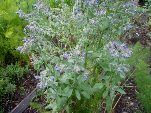 Borage growing wild