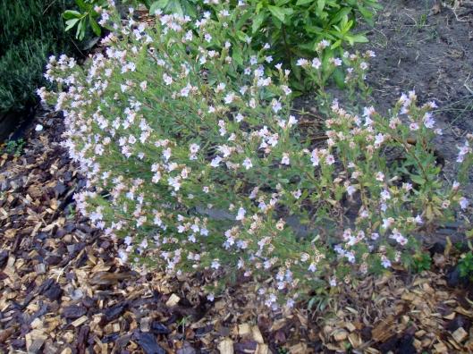 The pajama bush in full flower (Lobostemon)
