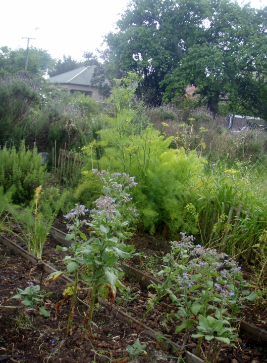Fennel growing wild