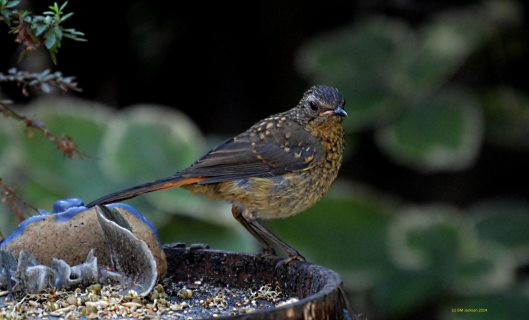Junior Robin Chat