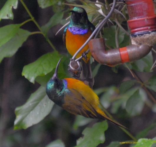 Orange Breasted Sunbird subservience