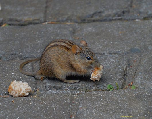 Striped field mouse enjoying some bread
