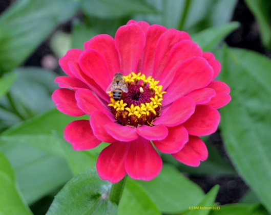 Even the honey bees love the Zinnia