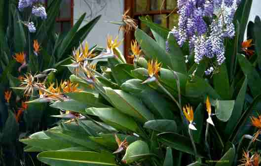"Strelitzia reginae is often called the ""Bird of Paradise"" or ""Crane Flower."