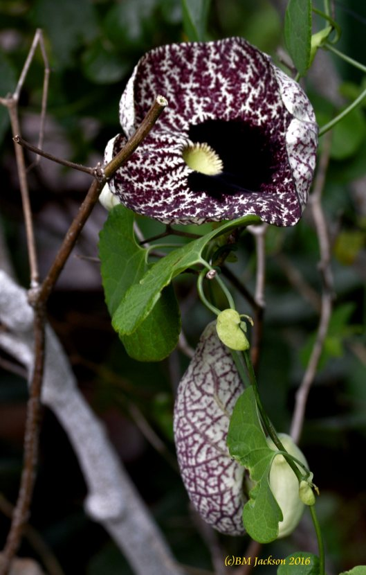 Dutchman's Pipe - Aristolochia